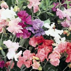 Sweet Pea - Spencer Waved Mix - 40 seeds